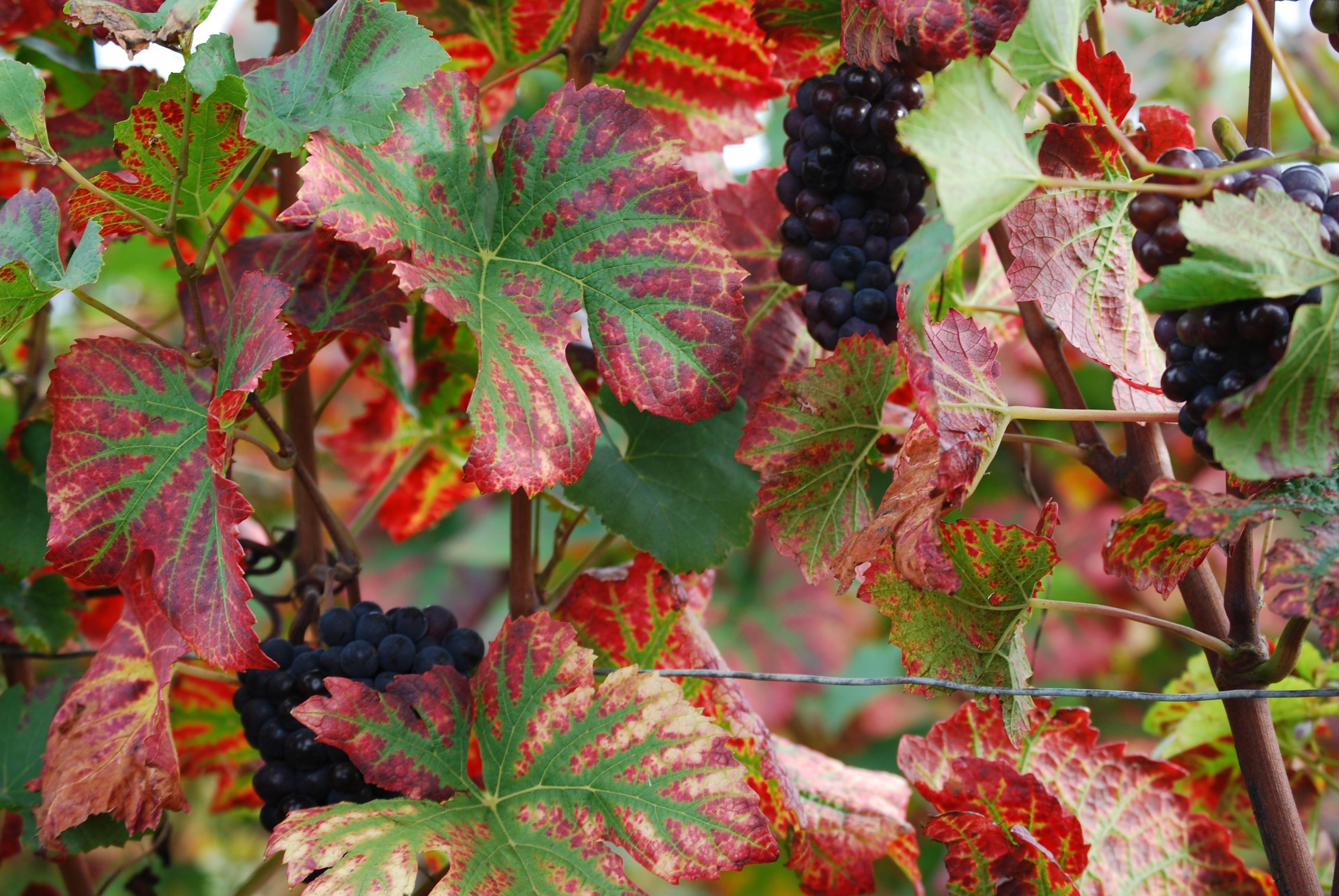 wijnbladeren Pinot Noir in de herfst